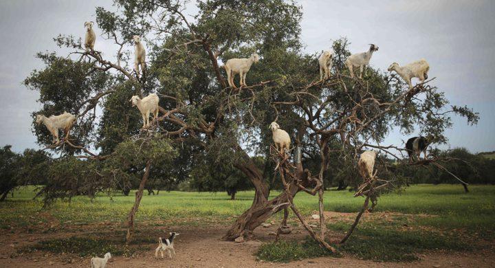 إجبار ماعز على تسلق الأشجار في دولة عربية من أجل المال