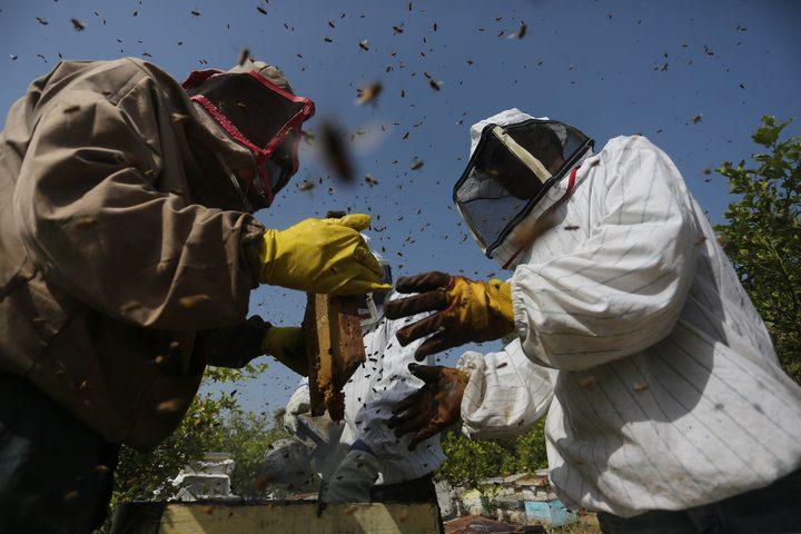 فلسطينيون يجمعون نحل العسل من خلية النحل خلال موسم الحصاد في المنحل بوسط قطاع غزة في 27\4\2019.