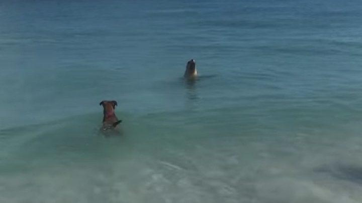 كلب ينضم إلى كلب بحر ويحاول السباحة معه (فيديو)