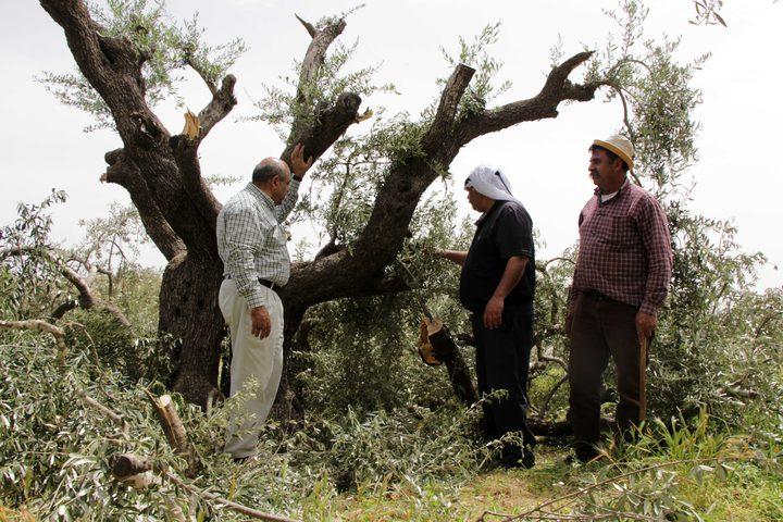 مزارعون فلسطينيون يتفقدون أشجار الزيتون التي قطعها المستوطنون في قرية برقة ، شرق مدينة رام الله بالضفة الغربية ، في 1 مايو 2019.