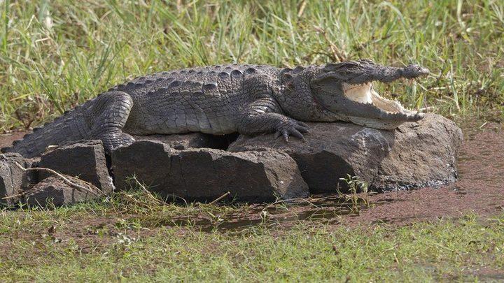 تمساح جائع يفترس راعيا حتى الموت!