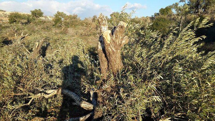 الاحتلال يقتلع 120 شجرة زيتون غرب رام الله