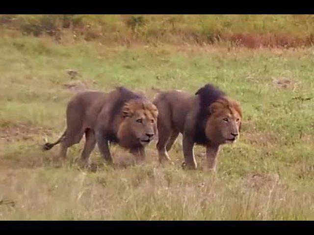 نجاة حارس حديقة حيوانات في ألمانيا من هجوم أسدان هائجان