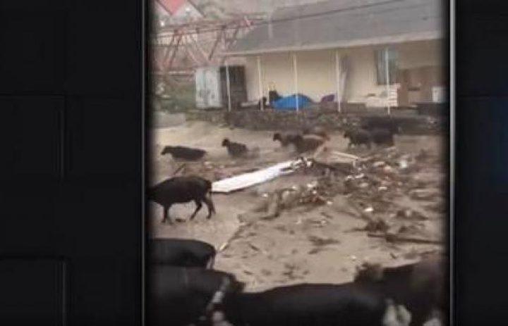 السيول تجرف سيارات وأبقارا في داغستان