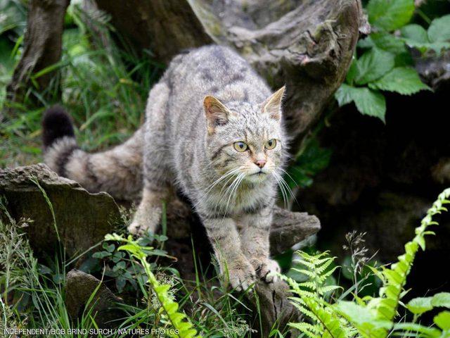 """القط الإنجليزي """"الشرس"""" يعود بعد 150 عاما من إعلان انقراضه"""