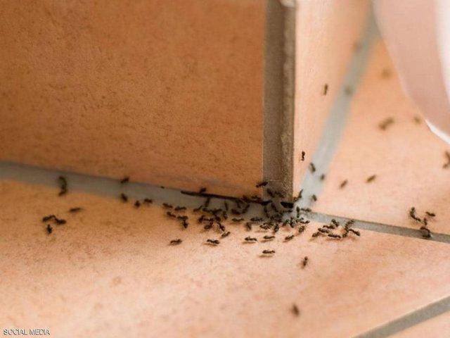"""حيلة للتخلص من """"نمل البيت"""" بشكل نهائي"""