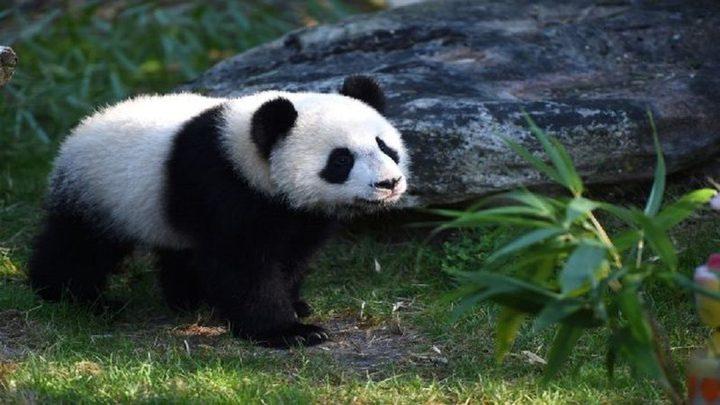 أول صورة في العالم لدب الباندا الأبيض النادر (صورة)