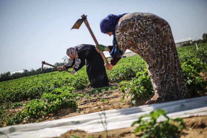 5 سيدات فلسطينيات في غزة يواجهن الفقر عبر العمل في مشروع زراعة البطاطس في منطقة حدودية، في تحدي للنظرة الاجتماعية لعمل المرأة في هذا المجال، ويحققن نجاحا في الموازنة بين العمل والمنزل