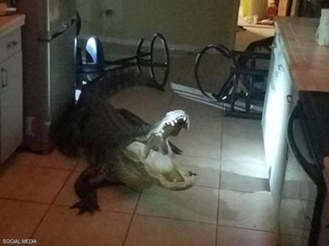 تمساح ضخم يقتحم منزلا والشرطة تنقذ الموقف