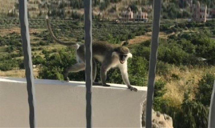 """القرد """"طشطوش"""".. اقتحم حدود """"اسرائيل"""" وعاد سالما"""