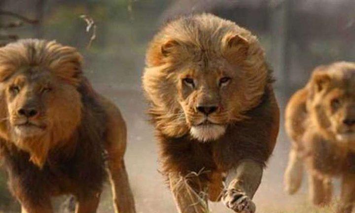 مقاطعة جنوب افريقيا تعلن حالة الاستنفار القصوى بعد هروب 14 أسداً
