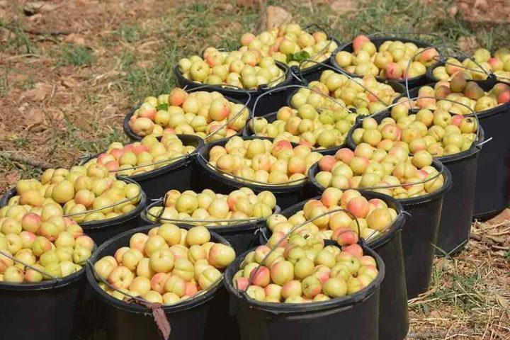 فلسطينيون يستقبلون موسم الصيف بالنزول إلى بساتين المشمش وقطف ثماره في سلفيت.