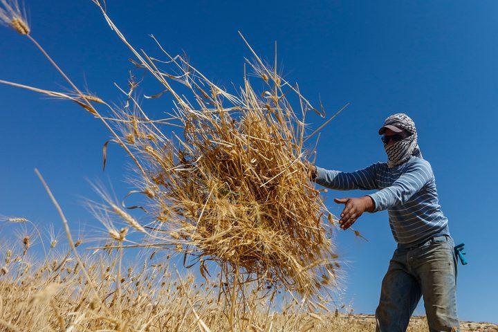 مواطنون يحصدون القمح في قرية المغير شرق رام الله ، يوم الثلاثاء ,قبل موعد حصاده ، بعد تهديد المستوطنين بحرق الاراضي المزروعة.