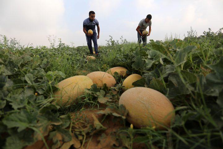 مزارعون فلسطينيون يجمعون الشمام من حقولهم خلال موسم الحصاد في منطقة حدودية بشرق رفح جنوب قطاع غزة