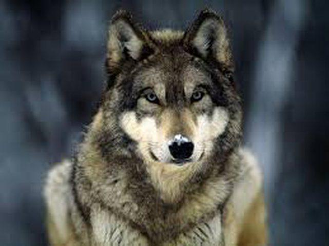 شاهد رأس ذئب توفي منذ أكثر من 30 ألف عام