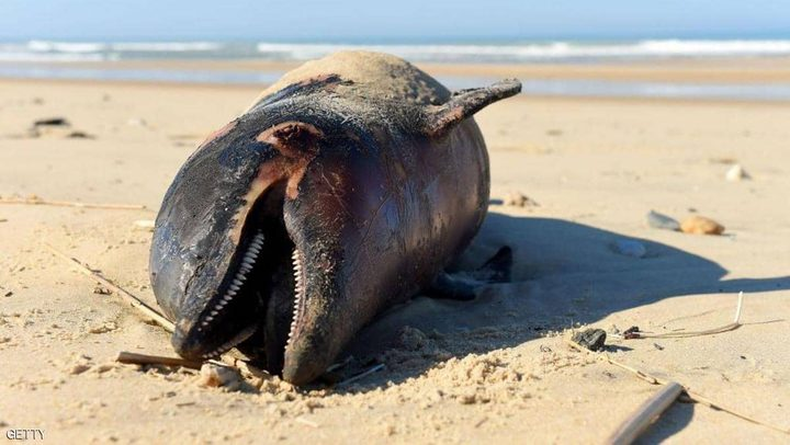 نفوق مئات الدلافين في أميركا يحيّر الخبراء