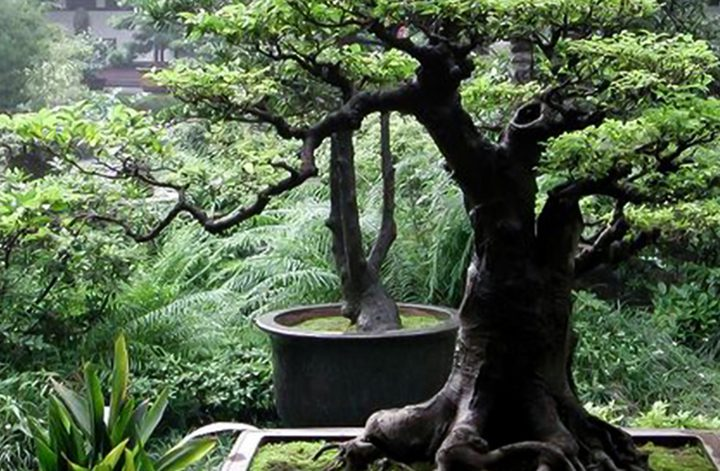 تستخدم لصناعة العطور.. تعرف على الشجرة الأغلى في العالم