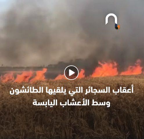 نيران الصيف تعدم القمح في أرضه .. والفاعل مجهول