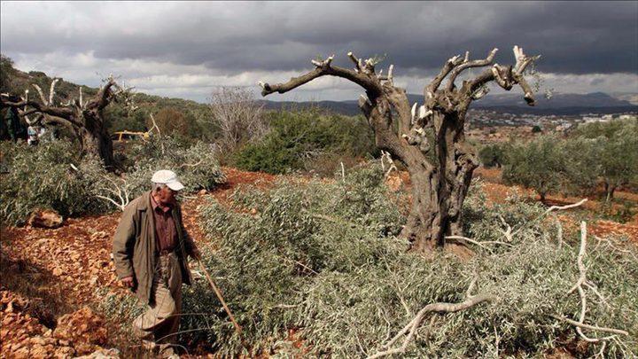 الاحتلال يقطع عشرات الاشجار في العيسوية