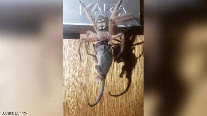 صورة ترصد حدثا نادرا.. عنكبوت يصطاد فأرا ويلتهمه