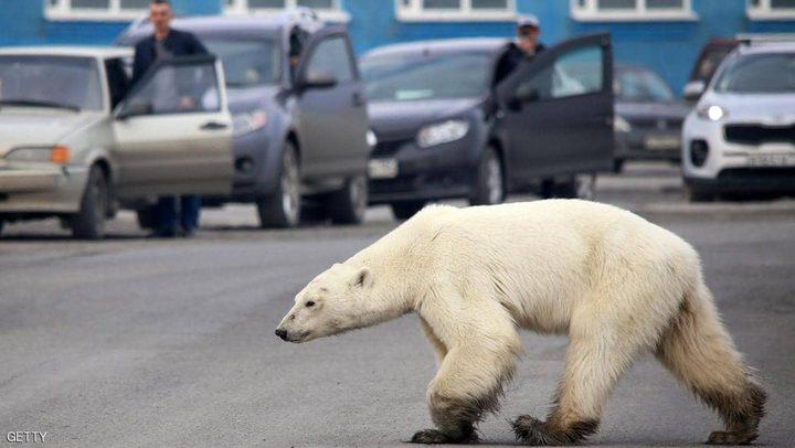 دبة قطبية تتجول داخل مدينة روسية بعد أن ضلت طريقها