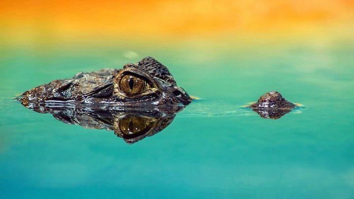 صور تظهر لحظة ابتلاع ثعبان لتمساح ضخم!
