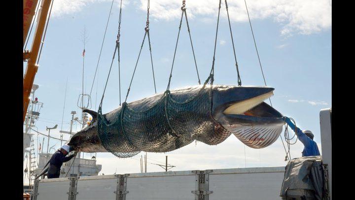 واخيرا.. اليابانيون يعودون لاصطياد الحيتان