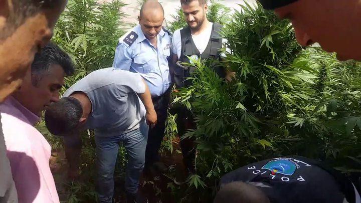 وقائي الخليل يضبط مشتلاً للمخدرات في يطا ويوقف 4 متهمين