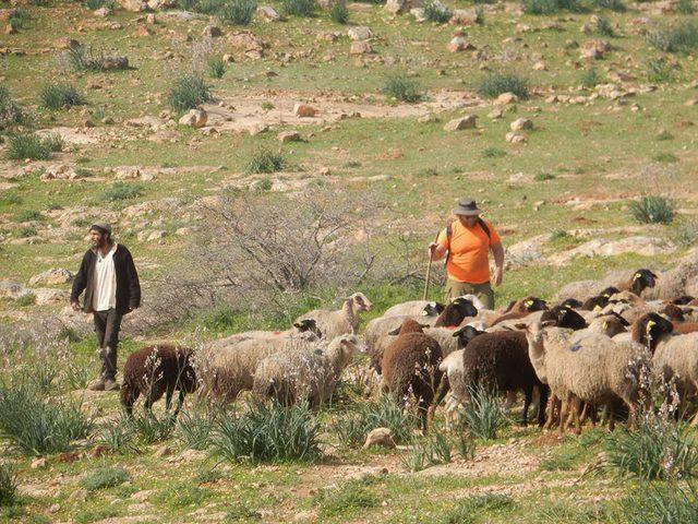 أبقار المستوطنين ترعى محاصيل المواطنين بالأغوار الشمالية
