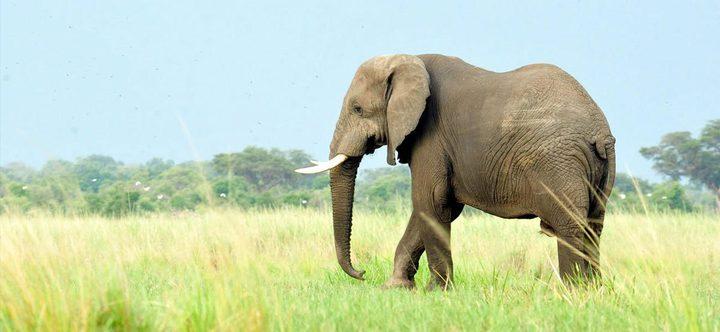 الهند.. فيل هائج يسحب طفلة من فراشها ويقتلها دهسًا