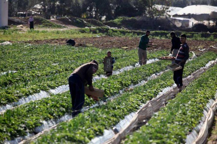 مشاريع إغاثية لتحسين سبل العيش لمزارعي قطاع غزة