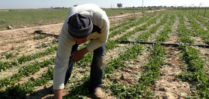 الصليب الاحمر: المزارعون في غزة هم الأكثر تأثراً بالوضع الاقتصادي