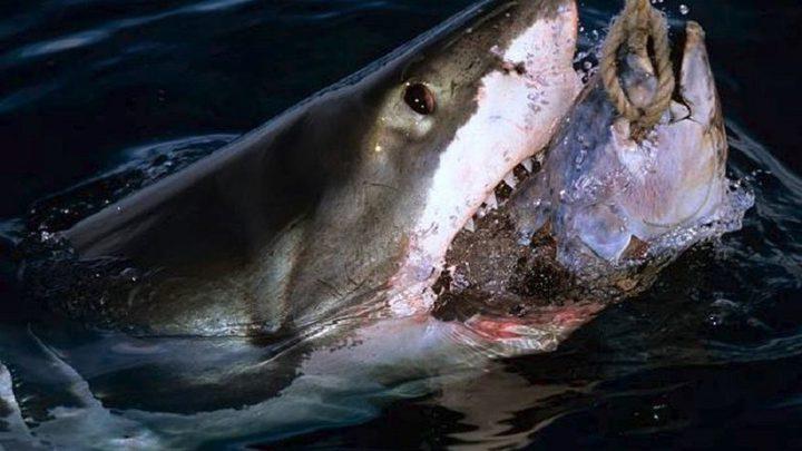 سمكة قرش تسحب صيادين مسافة 3 كيلومترات!