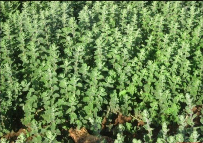 نجاح أول زراعة للزعتر وبإشراف خبراء النباتات البرية في غزة