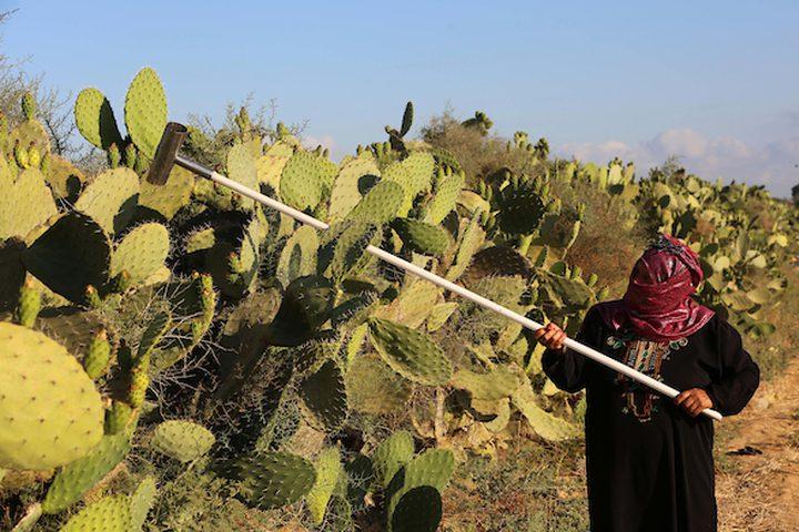 عمال من جنوب القطاع يقومون بقطف التين الشوكي ،خلال موسم الحصاد ،في مدينة خانيونس جنوب القطاع.