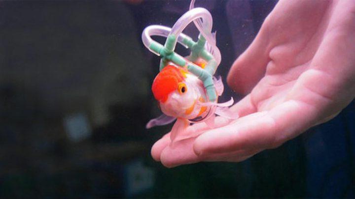 عاشق للأسماك يصمم كرسي متحرك لمساعدة سمكة على السباحة
