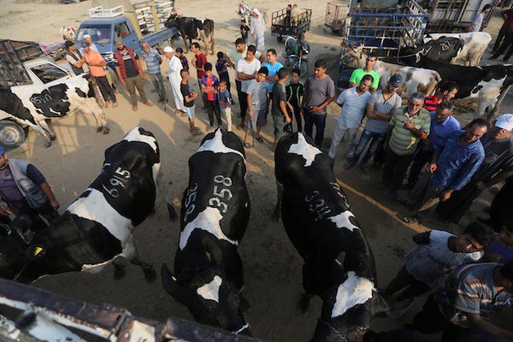 يستعد المواطنون في غزة ،لشراء الأضحيات قبل عيد الأضحى المبارك ، فيتوافد الكثير لسوق الحلال ،وسط القطاع لشراء المواشي .
