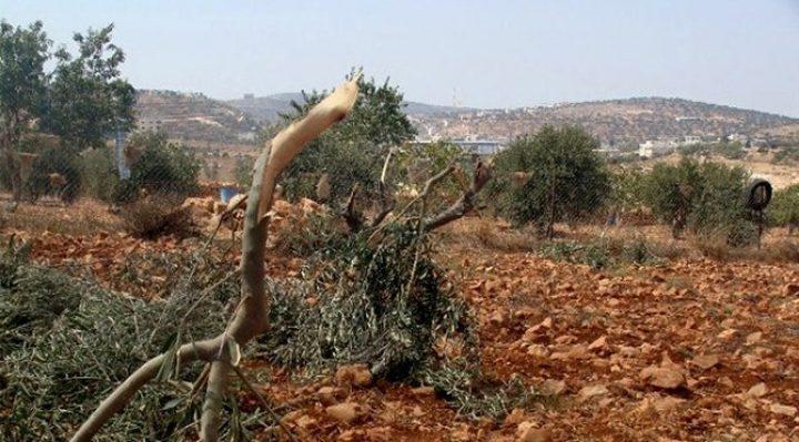 مستوطنون يقتلعون عشرات من أشجار الزيتون جنوب نابلس