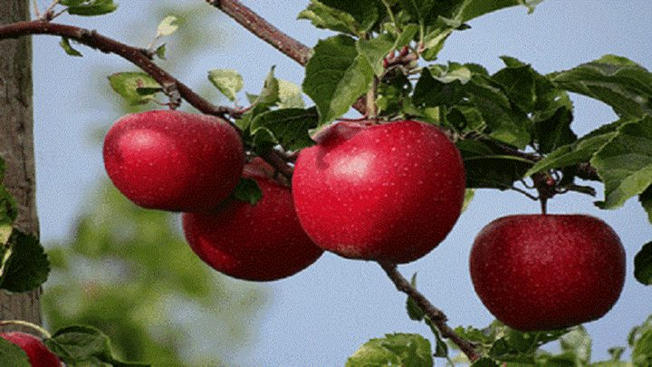 دراسة: التفاح يساعد على انخفاض نسبة مرض السكري بالجسم