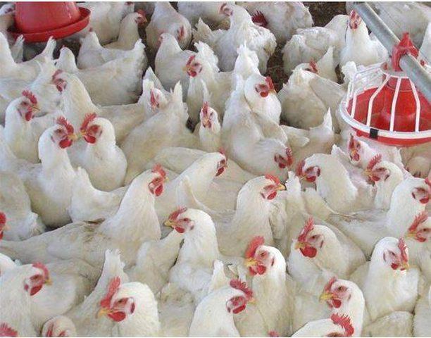 استقرار أسعار الدجاج في غزة