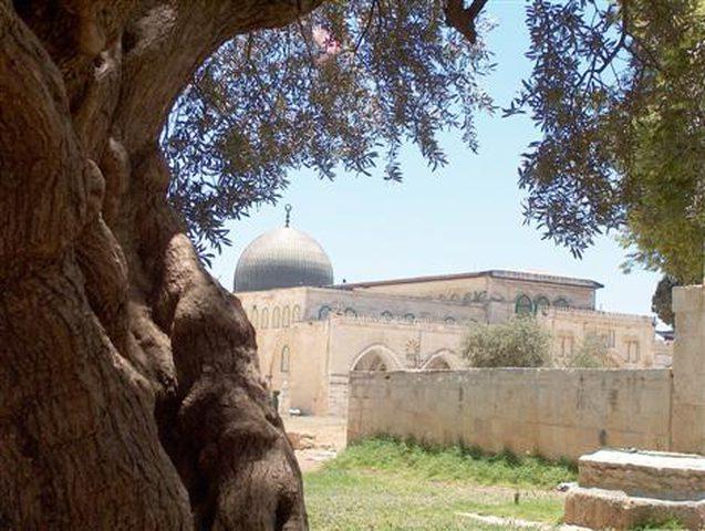 الاحتلال يقتلع عددا من أشجار الزيتون من ساحات الأقصى