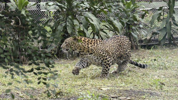 نمر يهاجم سكان قرية