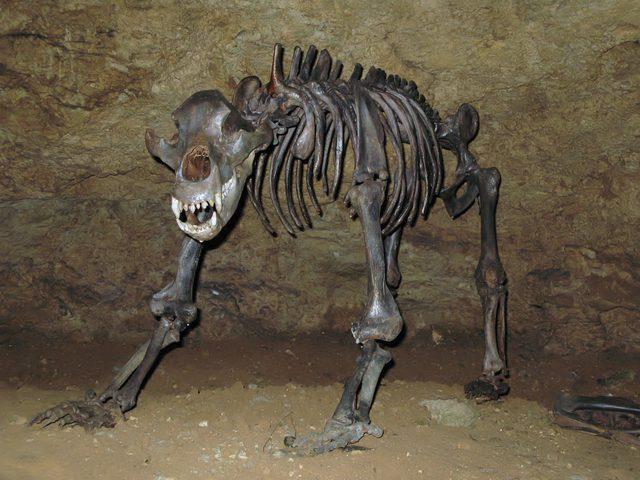 دراسة تكشف أن البشر يتحملون مسؤولية انقراض حيوان الدب العملاق