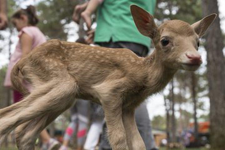 عنزة تُرضع صغير غزال بعد تخلي والدته عنه