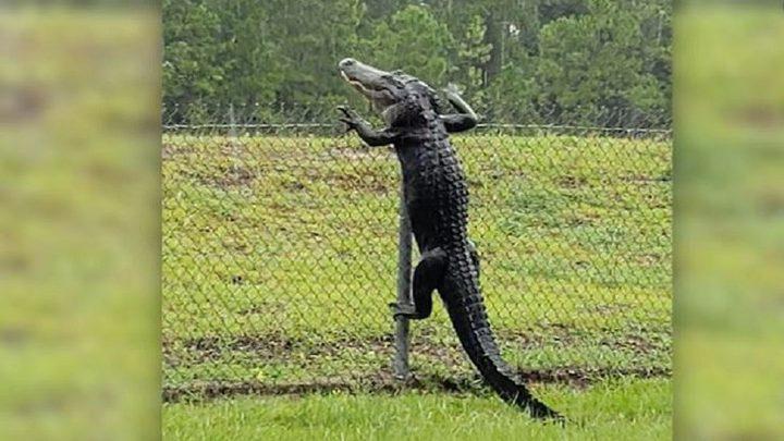 تمساح يتسلق سور ويتسلل لقاعدة عسكرية