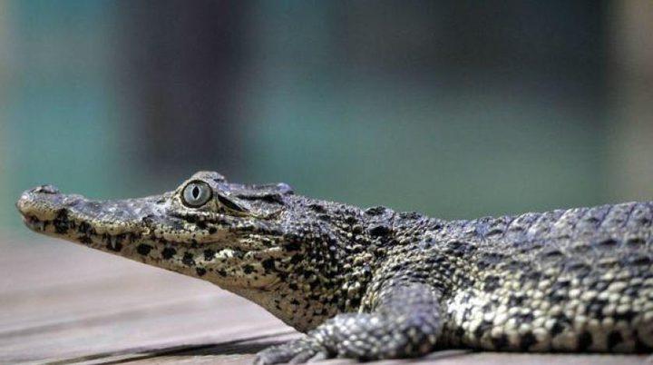 تمساح ينقض على رجل سبعيني في متحف مائي