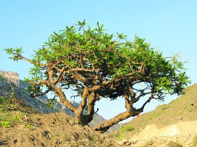 عُمان.. الكشف عن سر أغلى شجرة في العالم