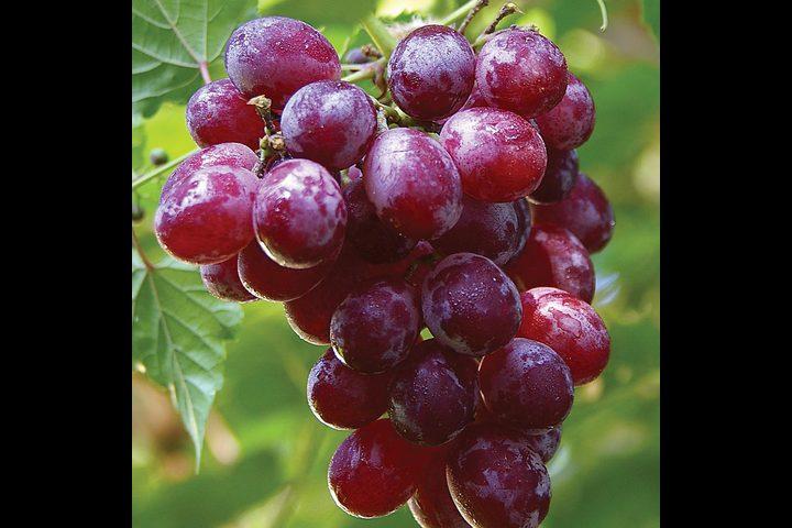 العنب مضر لمرضى الأنيميا