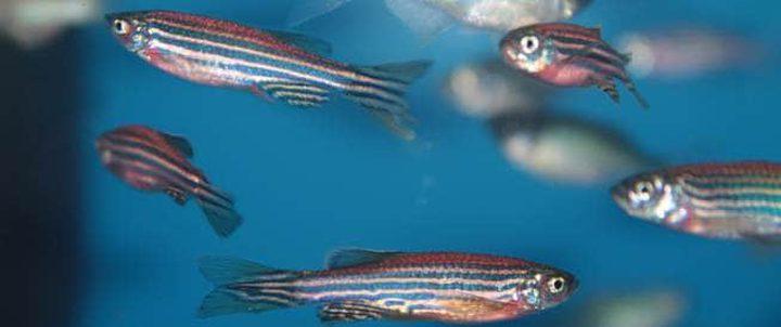 أعين الأسماك تعالج العمى