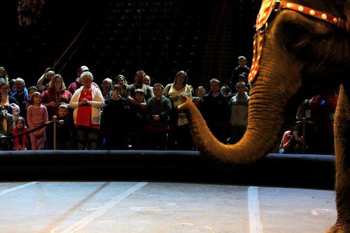 الدنمارك تحظر إدخال الأفيال إلى السيرك